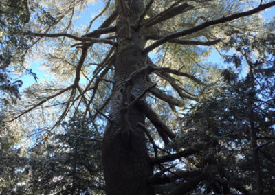 Eastern White Pine (Holly Byers)