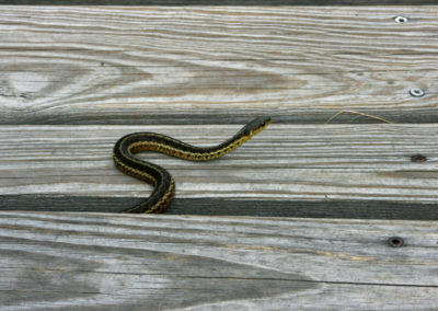 A Snake Emerges from Under the Boardwalk