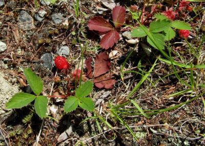 Wild Strawberry at Tide Mill Creek (Carol Muth)