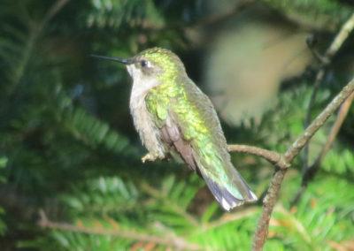 Hummingbird at Pigeon Hill (Megan J Humphrey)